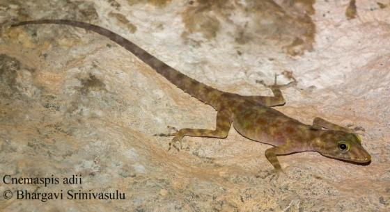 Hyderabad-based herpetologist Aditya Srinivasulu found called Cnemaspis adii, a new species of gecko, in the ruins of Hampi in Karnataka in India