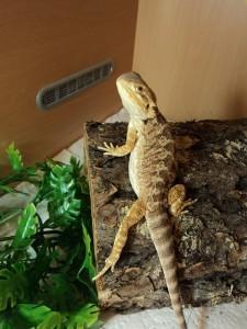 Bearded dragon body language - sexy leg