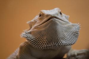 Bearded dragon body language - beard flexing