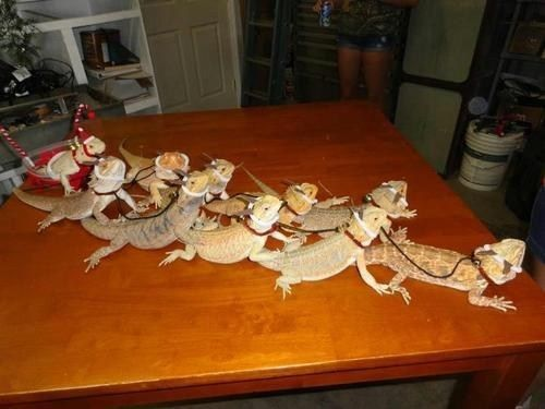 Bearded dragons pulling a sleigh