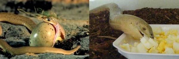 feeding - legless lizards vs snakes