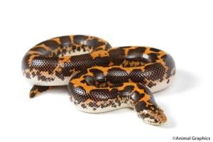 how big can snakes get: kenyan sand boa