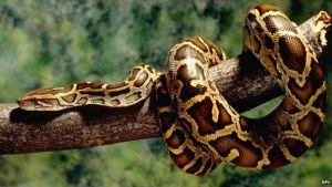 how big do snakes get: burmese python