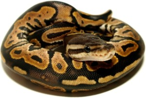 how big can snakes get: ball python