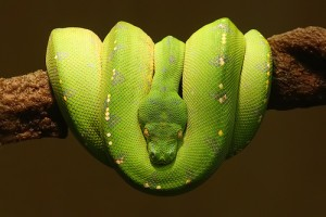 how big can snakes get: green tree python