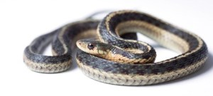 how big do snakes get: garter snake