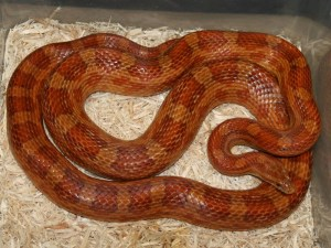 how big can snakes get: corn snake