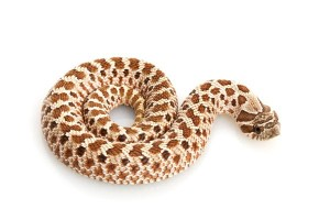 how big can snakes get: western hognose
