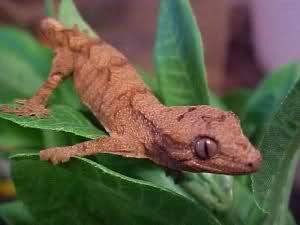 Hybrid reptiles - Chahoua gecko x crested gecko