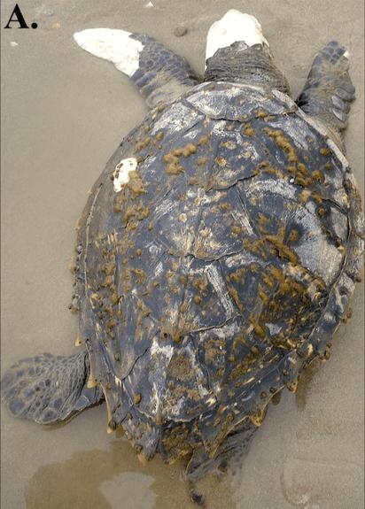 Hybrid turtle - Hawksbill (Eretmochelys imbricata) x loggerhead (Caretta caretta)