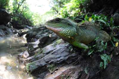 Reptile expo horoscope: Leo - chinese water dragon