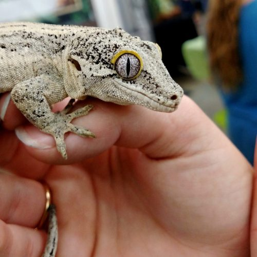 gargoyle gecko - wasatch reptile expo 2016