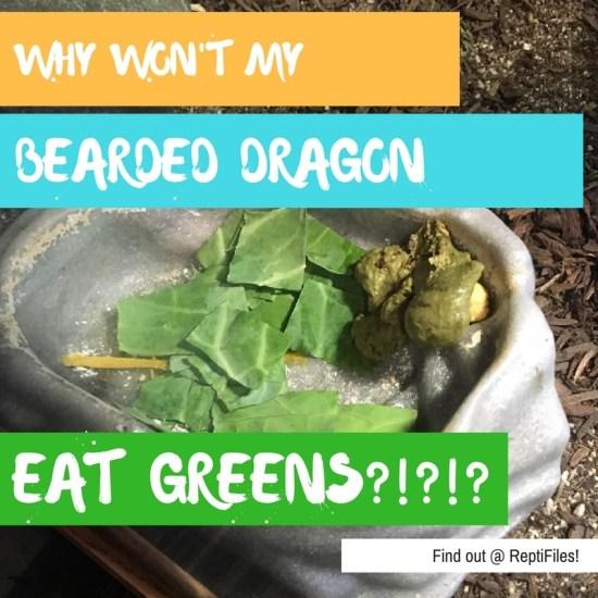 bearded dragon won't eat greens - blog graphic