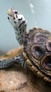 Reptile expo horoscope: Pisces - diamondback terrapin