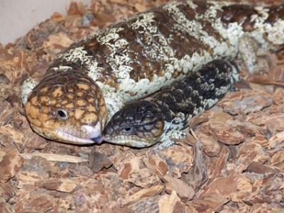 Reptile expo horoscope: Gemini - shingleback skink