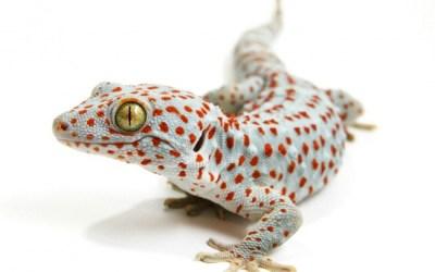 Reptile expo horoscope: Capricorn - tokay gecko