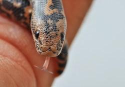 cute reptiles - juvenile sand boa