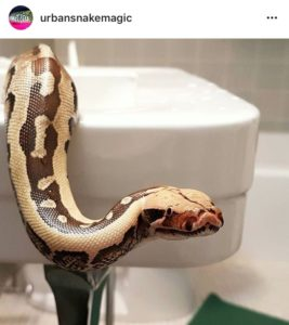 Short-tailed python in a snake-proof sink