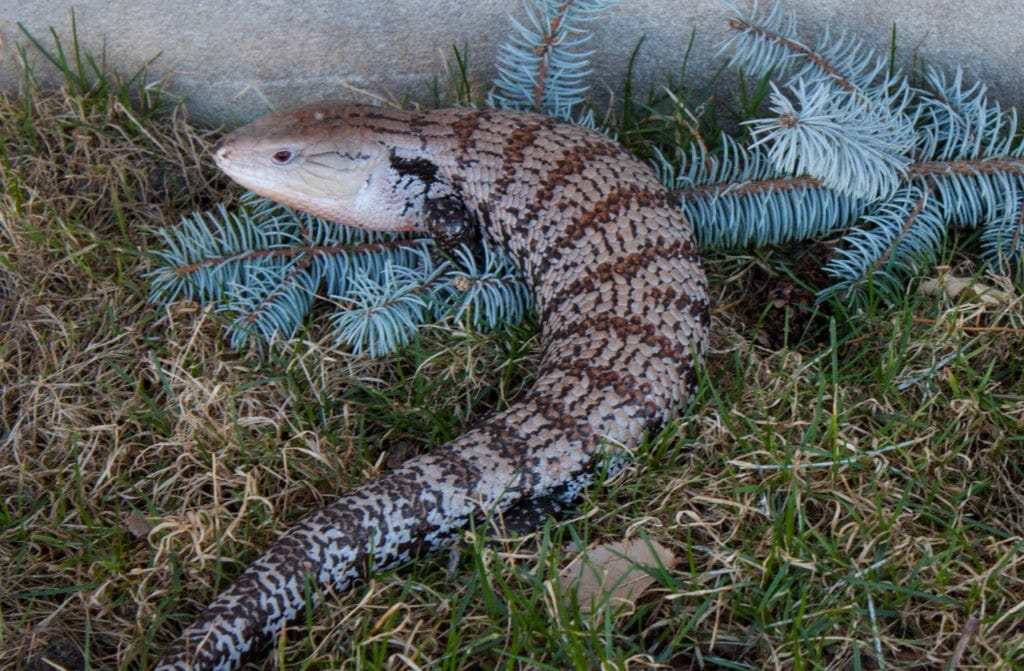 Blue Tongue Skink Subspecies | ReptiFiles