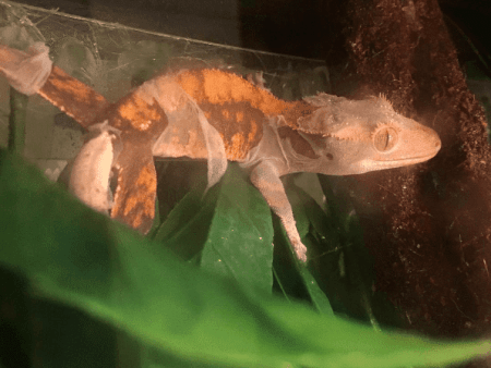 crested gecko shedding - ReptiFiles