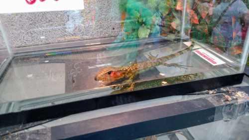 Juvenile caiman lizard at the Spring 2017 Wasatch Reptile Expo