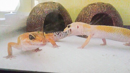 leopard gecko cohabition