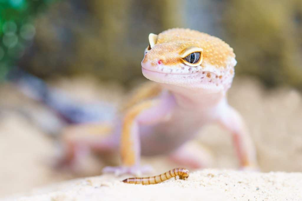 leopard gecko feeding info leopard gecko care