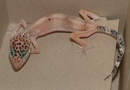 leopard gecko stick tail disease