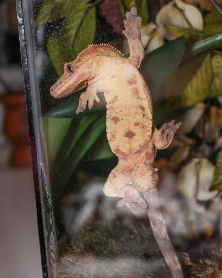 Captive bred reptiles - male crested gecko