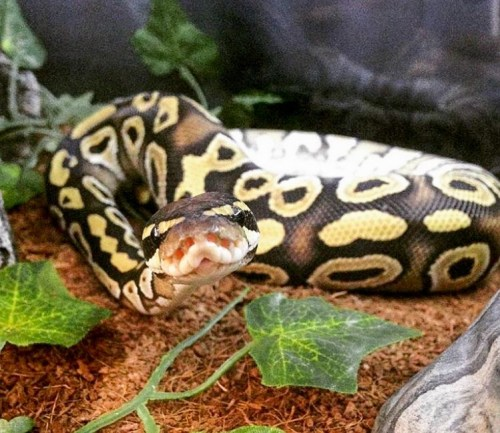 ball python substrate - coconut fiber