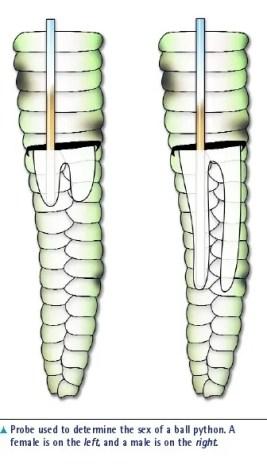 sexagem python bola - diagrama de gônadas masculinas vs femininas