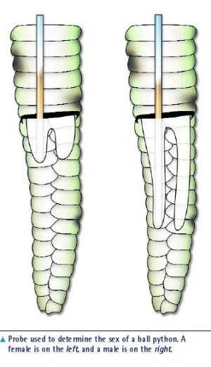 ball python sexing - diagram of male vs female gonads