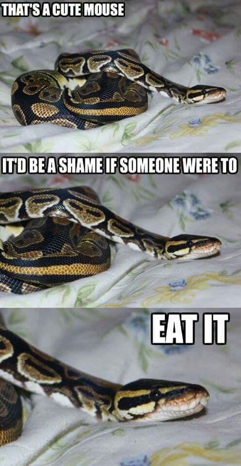 ball python feeding meme