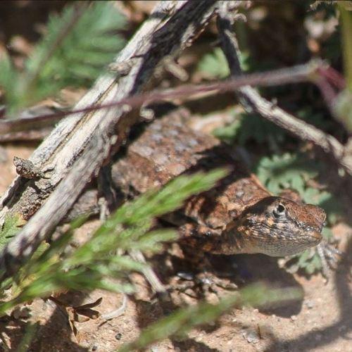 Wild side-blotched lizard