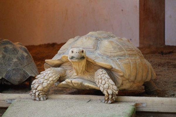 do turtles make good pets - sulcata tortoise