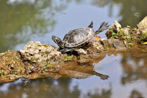 do turtles make good pets - red eared slider turtle basking