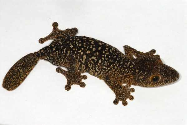 Uroplatus aff. sikorae, leaf-tailed gecko species