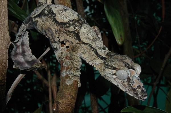 Uroplatus giganteus, leaf-tailed gecko species