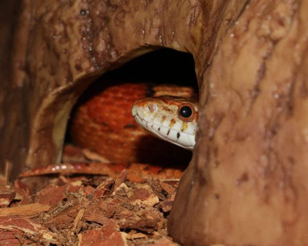Corn snake accessories - snake hide