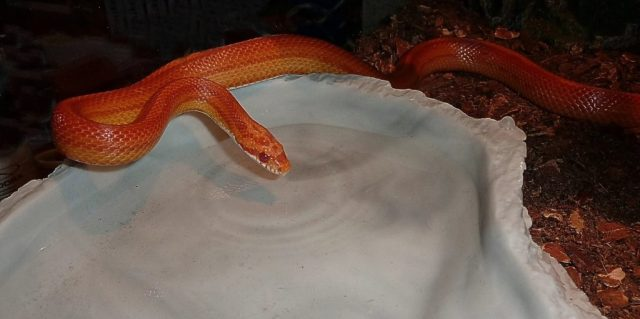 Corn snake food and water needs