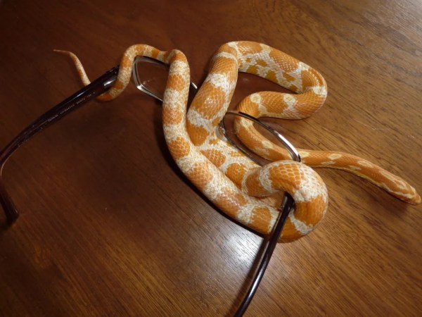 Corn snake handling tips - they really like glasses