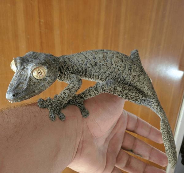 Uroplatus fimbriatus, giant leaf-tailed gecko