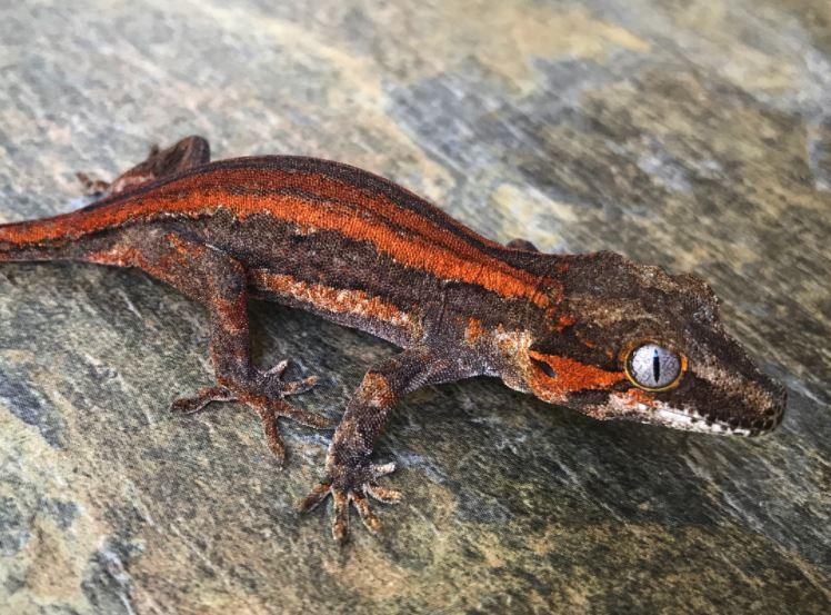 Gargoyle Gecko Substrate (Bedding) Options | ReptiFiles
