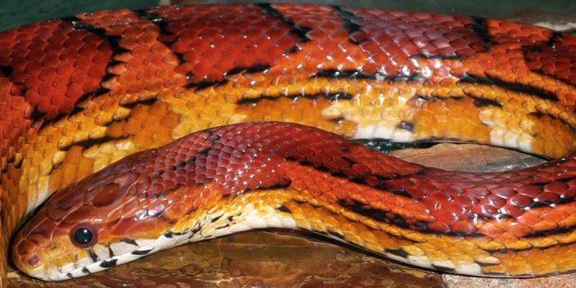 Corn snake care guide - okeetee corn snake