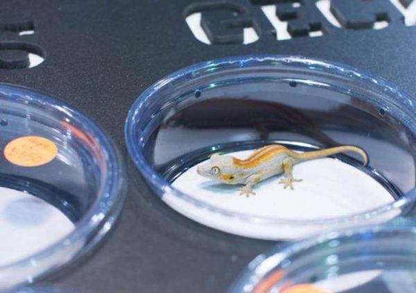 orange stripe juvenile gargoyle gecko - gargoyle gecko supplies