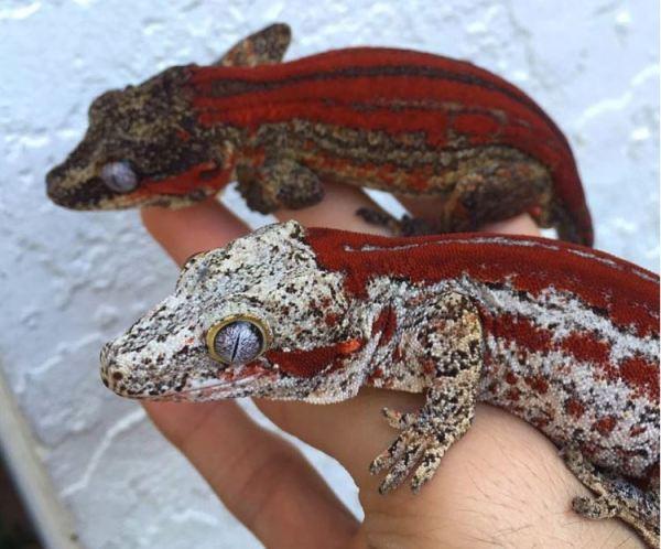 red stripe gargoyle geckos - gargoyle gecko terrarium size information