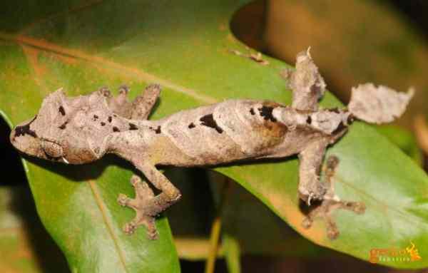 Uroplatus finiavana, leaf-tailed gecko species