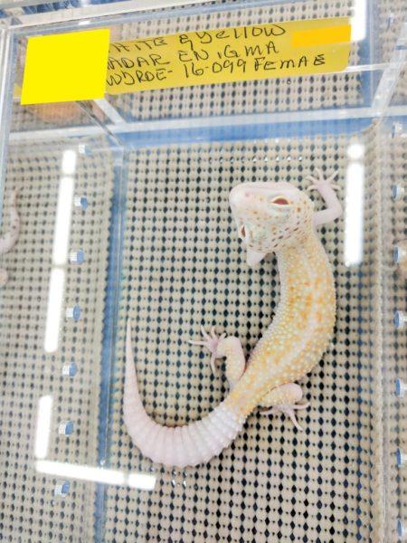 JB Leopard Geckos, WY radar enigma - Fall 2017 Wasatch Reptile Expo top 10