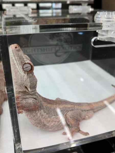 Nightshift Exotics, pink gargoyle gecko breeder - Fall 2017 Wasatch Reptile Expo top 10