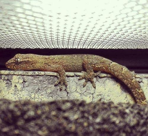The Ultimate Mourning Gecko Care Guide - mourning gecko basking in terrarium